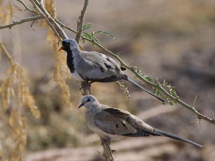 الاسم الاجنبي : The Namaqua Dove الاسم العربي :