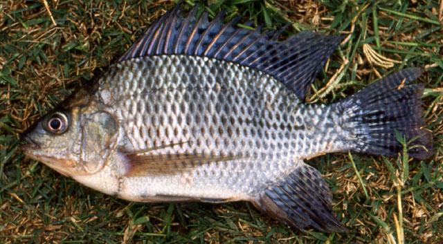 البلطي النيلي صور سمك البلطي النيلي شكل سمكة البلطي النيلي 1319879868.jpg