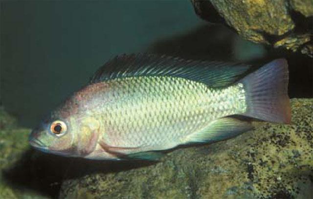 البلطي النيلي صور سمك البلطي النيلي شكل سمكة البلطي النيلي 1319877046106.jpg