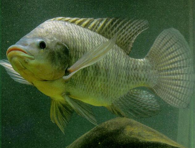 البلطي النيلي صور سمك البلطي النيلي شكل سمكة البلطي النيلي 1319877046609.jpg